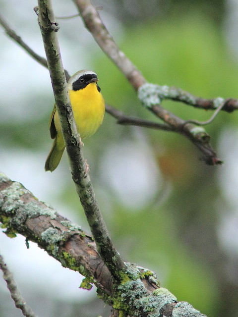 Common Yellowthroat 20150409