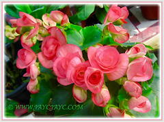 Captivating Begonia 'Double Roseform Pink', 6 July 2015