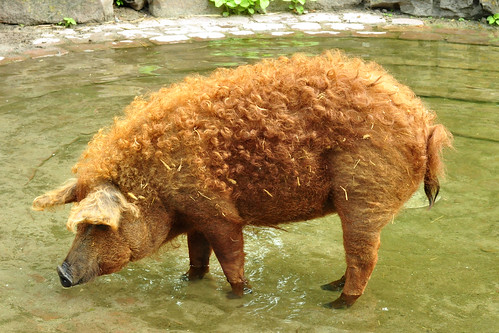 August 2016 im Herzogenriedpark Mannheim. Auch ein paar Tiere sind mir über den Weg gelaufen (geschwommen) und wurden fotografisch eingefangen: Gans - Storch - Karpfen - Blässhuhn (Wasserhinkel) - ein Wollschwein mit schönen roten Locken - Ziege - Orpington-Ente. - Foto: Brigitte Stolle 2016