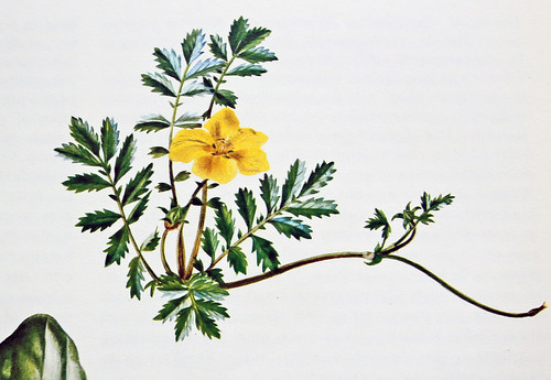Zilverschoon / Silverweed / Potentilla anserina | by Renk Knol