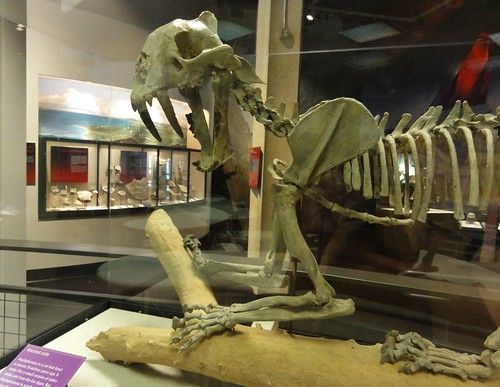Image shows the front half of a sabre cat skeleton, perched on a branch in a glass case. Its teeth are quite prominent. It is in profile with its head slightly turned toward the viewer, as if noticing something small and tasty is standing below it.