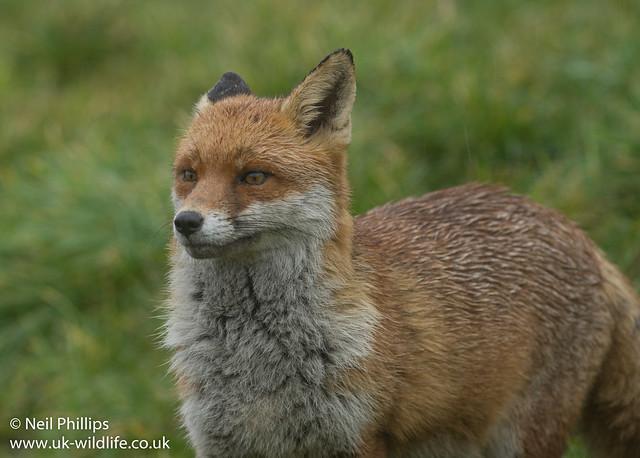 Wet fox-3