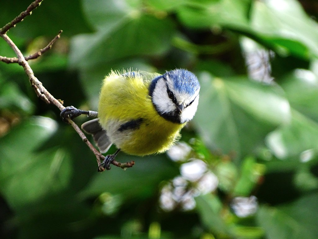 Blue Tit preparing for take off