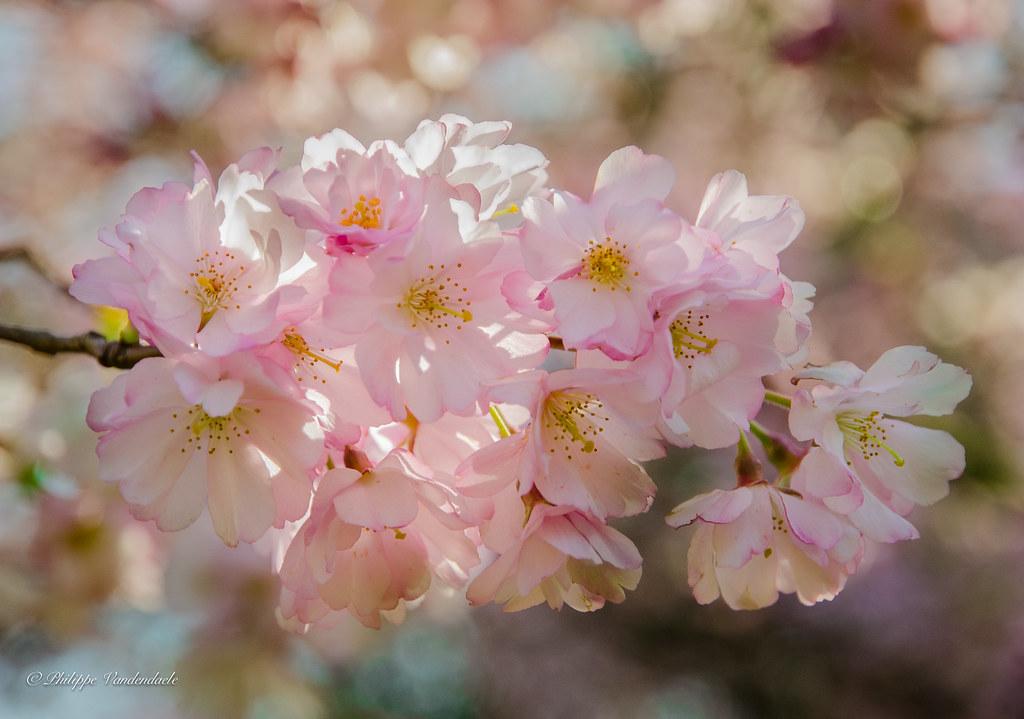 Fleurs De Cerisier Du Japon Parc De Cointe A Liege Belgi Flickr