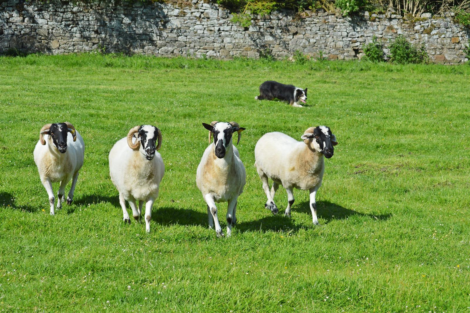 Sheep dog demonstration