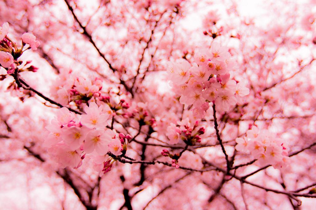 Cherry Blossom White Shoe Polish