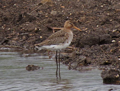 Black-tailed Godwit Limosa limosa Tophill Low NR, East Yorkshire May 2015