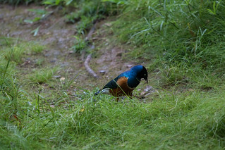 Superb Starling (Lamprotornis superbus) | by HelenPalsson