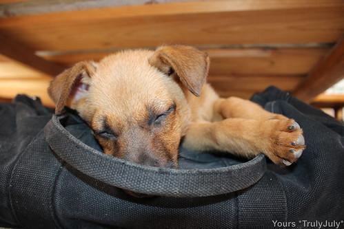 Puppy Lola falls alseep on the duffel bag.