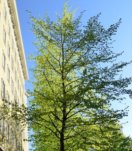 alkukevään vihreä puu
