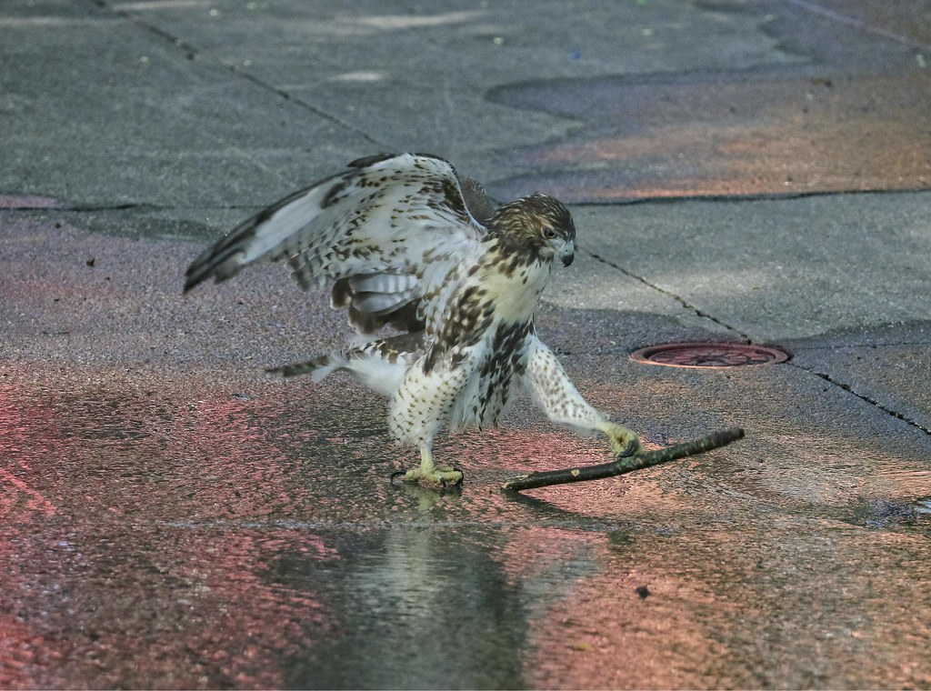 Hawk playing with a stick in the sprinkler