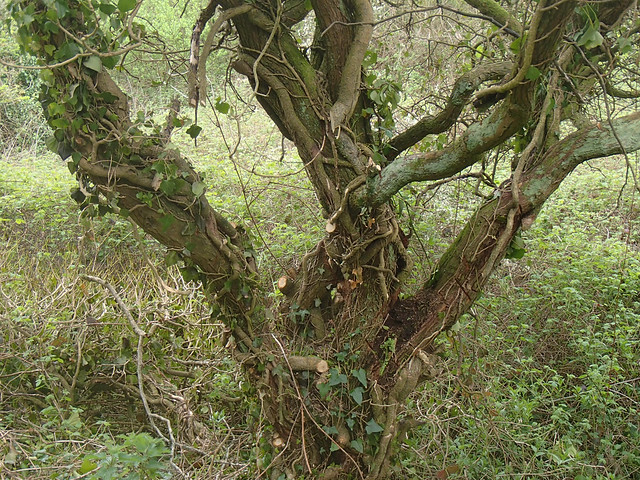 hawthorn-with-pruned-ivy