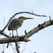 Striated Heron, Mahe