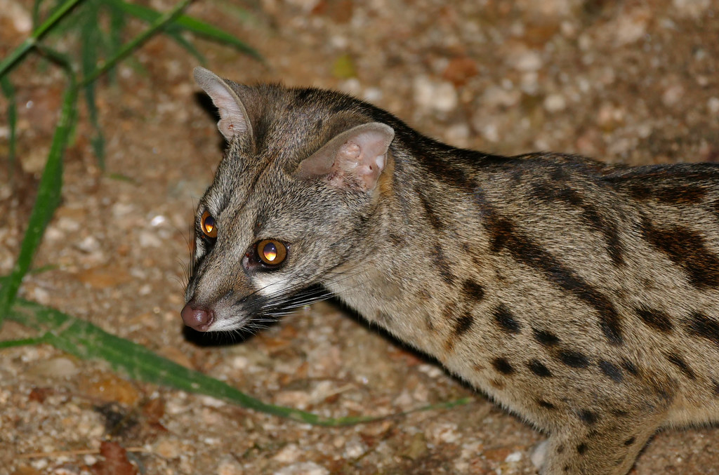 Large Spotted Cat  Letters