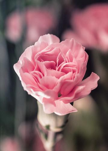 Carnation // 28 05 15