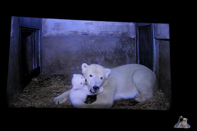 Eisbär Fiete im Zoo Rostock 24.05.2015 274