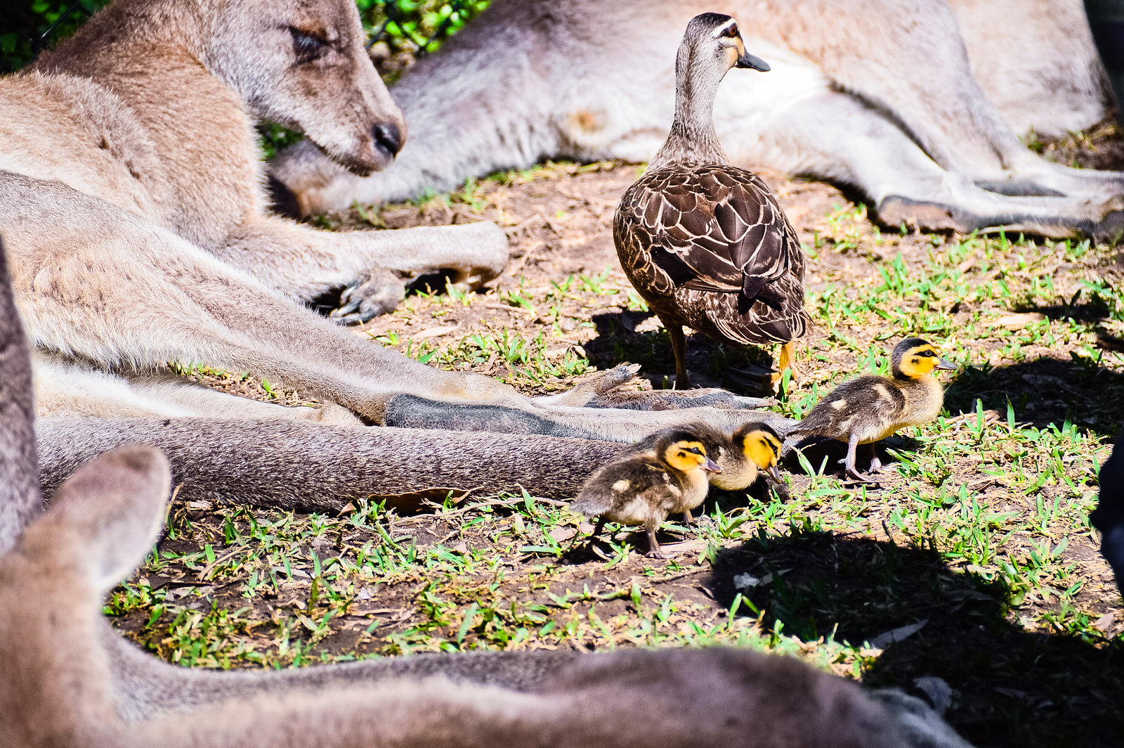 Currumbin Wildlife Sanctuary Kangaroos Ducks