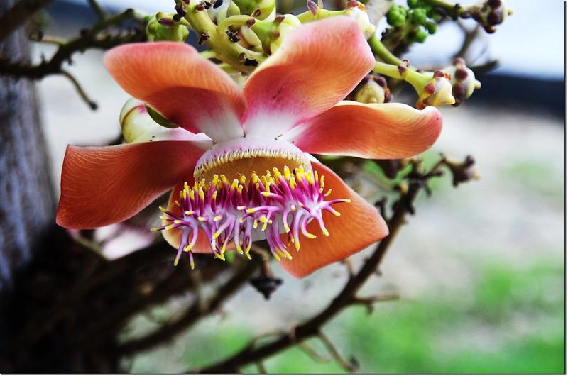 砲彈樹的花 4