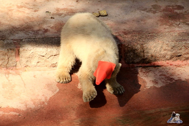 Eisbär Fiete im Zoo Rostock 23.05.2015 224