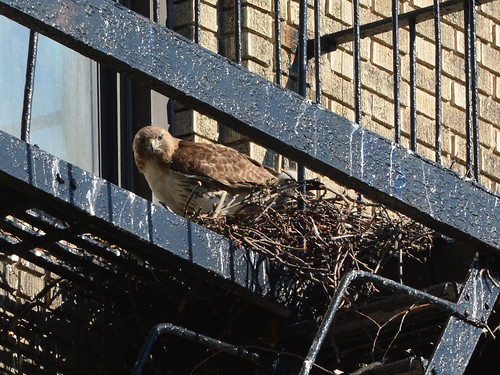 JHW Hawk Nest - 1561
