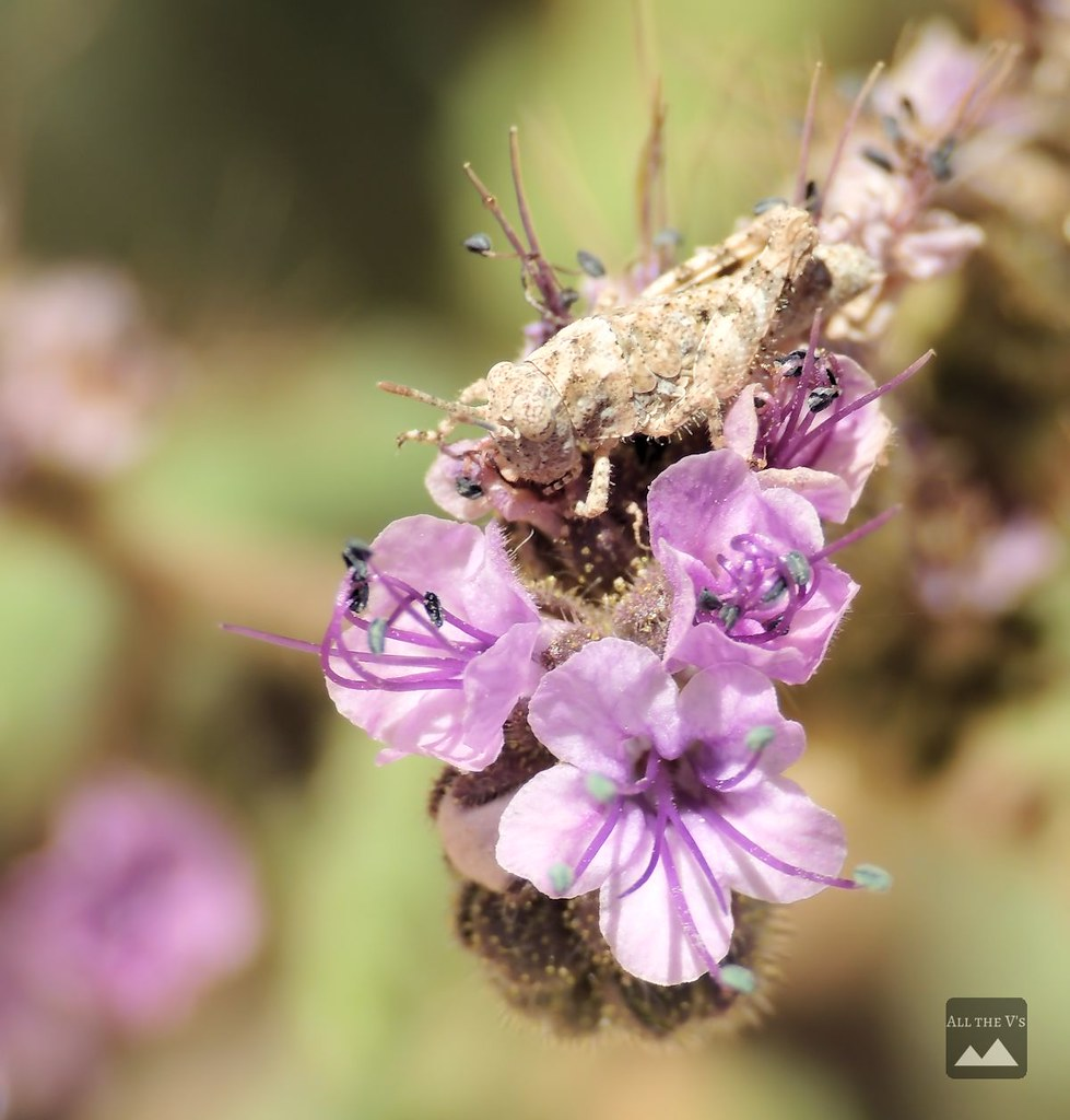 camohopper