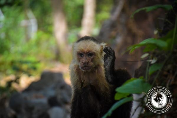 White Face Monkey Isla Ometepe Nicaragua