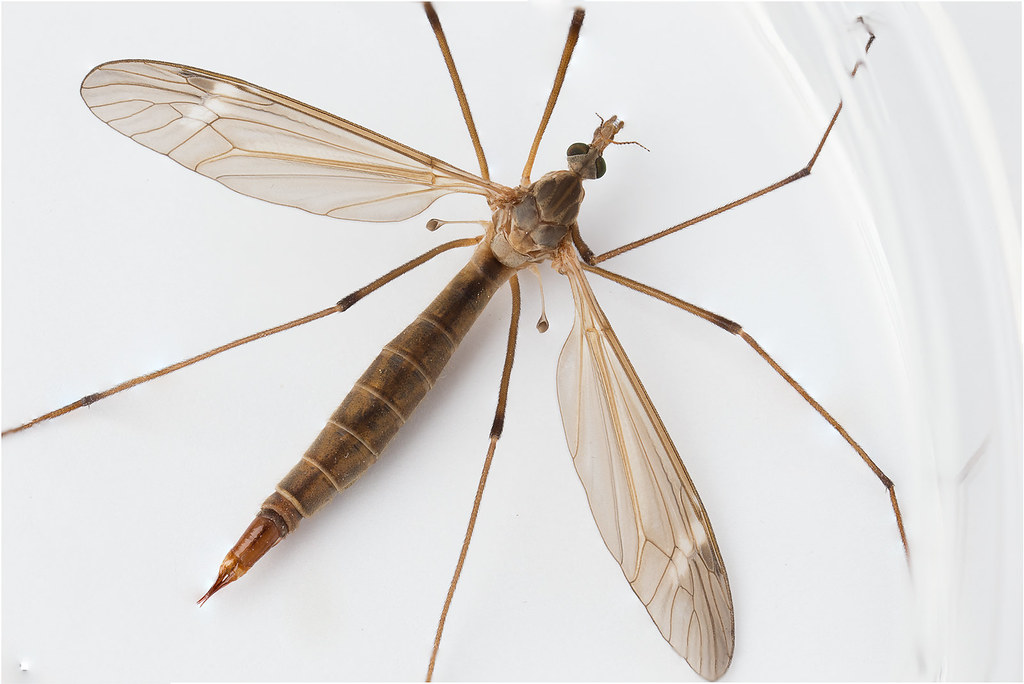 cranefly family tipulidae the appendages behind the