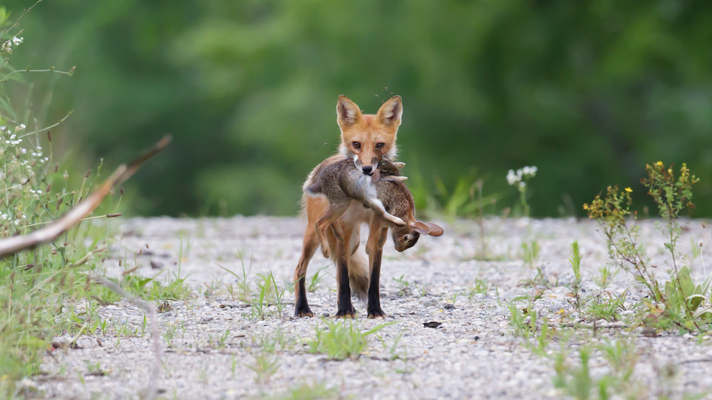 Red fox eating rabbit - photo#44