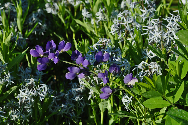 Amsonia tabernaemontana and Baptisia (2)