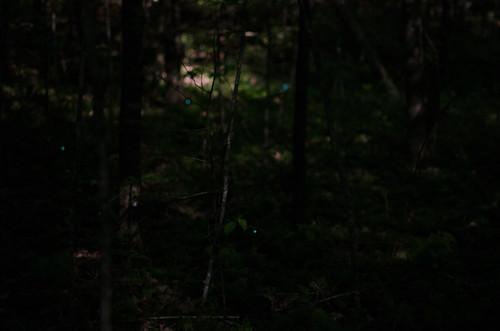 Blue Ghost Fireflies