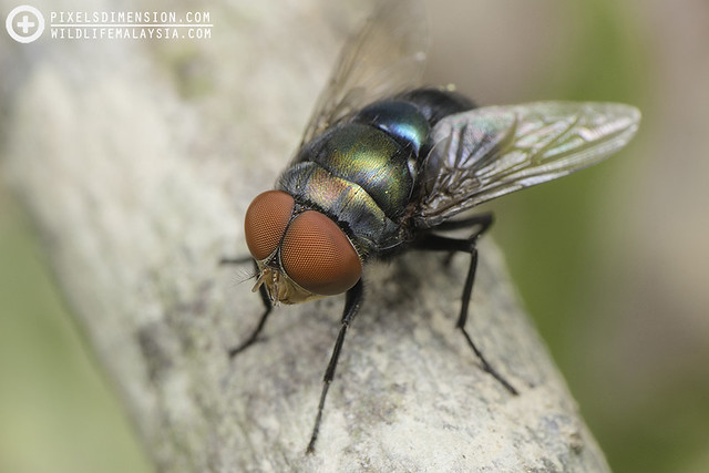 Blue-bottle Blow Fly (Calliphoridae)