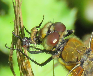 Four-spotted Skimmer eating an insect | by SaltTheSandbox