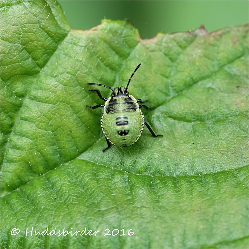 Green Shielbug instar