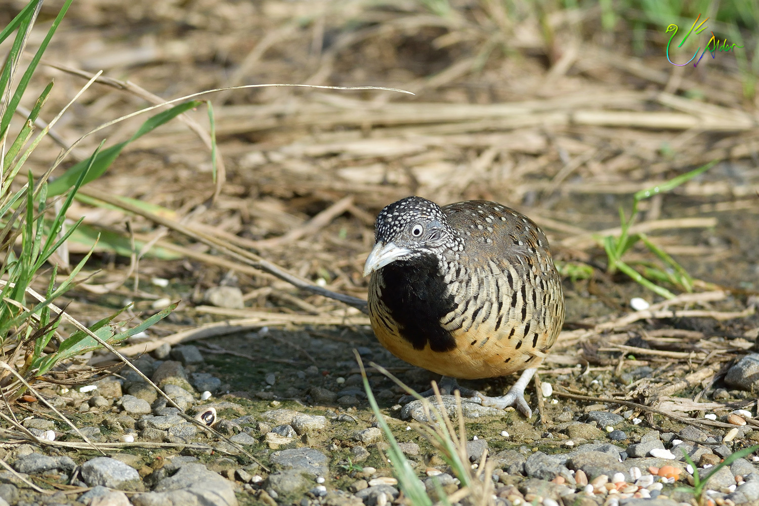 Barred_Buttonquail_1129