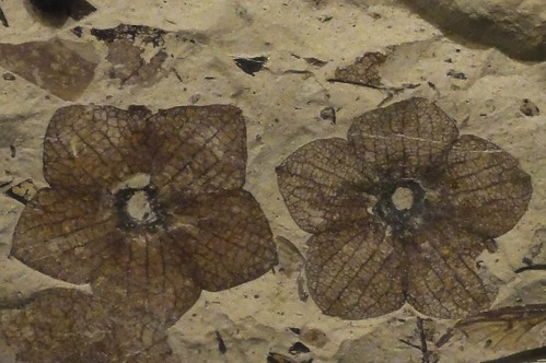 Image shows two small, five-petaled flowers pressed into a fine-grained sedimentary stone. They are dark brown against the tan stone. Each flower has five diamond-shaped petals around small round centers.