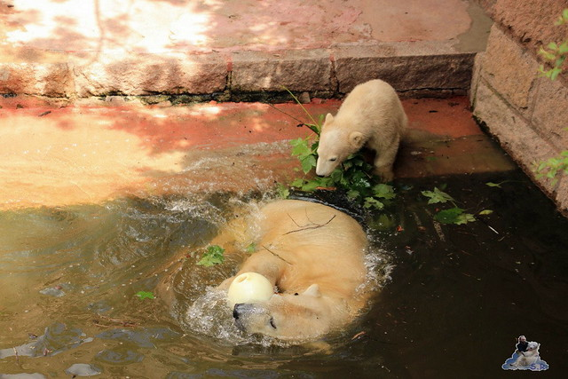 Eisbär Fiete im Zoo Rostock 24.05.2015 178