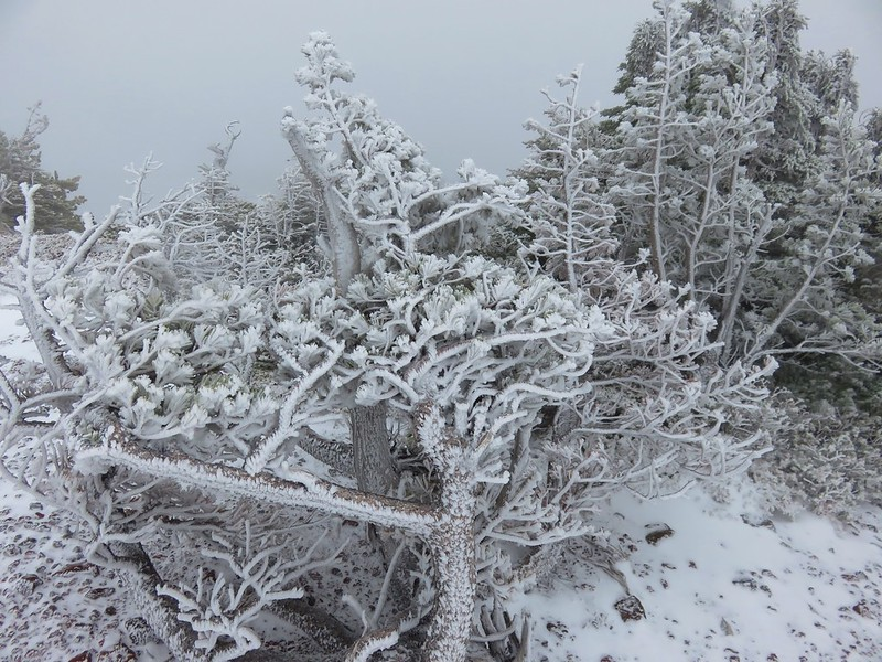 Frozen whitebark pines on Black Crater