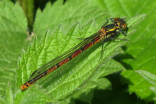 Large Red Damselfly Pyrrhosoma nymphula Tophill Low NR, East Yorkshire May 2015