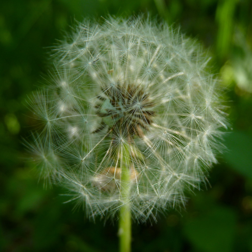 Dandelion White Globular Head Of Seeds On The Blue Sky: Dandelion Seed Head