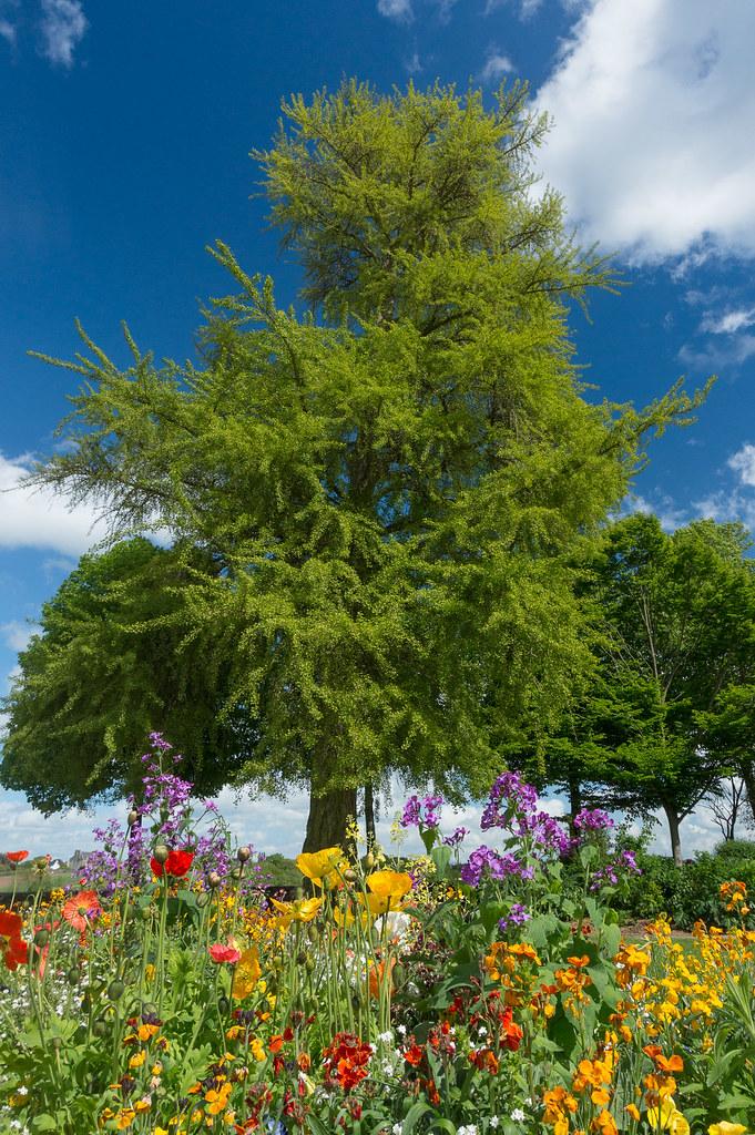 Jardin anglais de dinan ginkgo biloba arbre for Jardin anglais en france