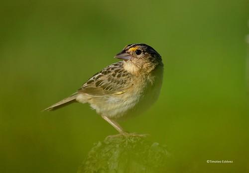 Ammodramus savannarum-Grasshoper Sparrow.Tumbarrocio (1)
