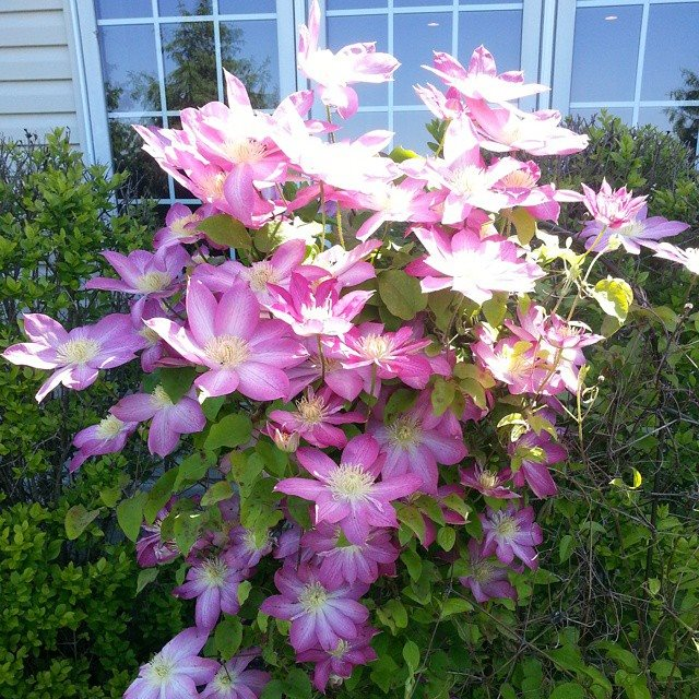 clematis of God's faithfulness