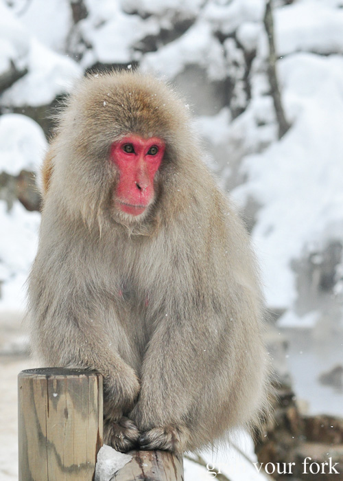 Snow monkey in winter at Jigokudani Monkey Park, Nagano