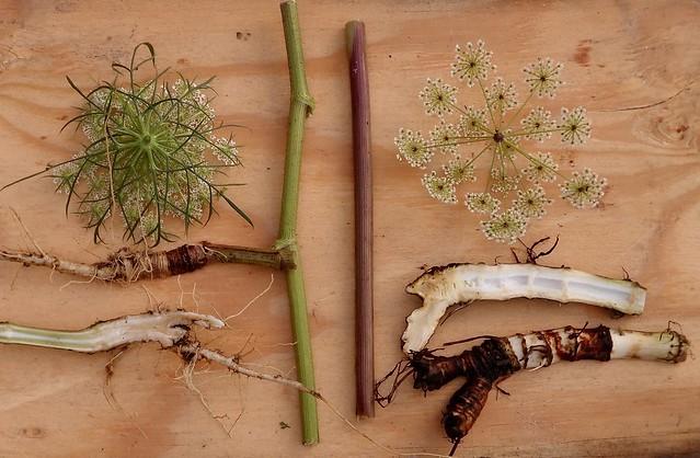Wild Carrot- Hemlock