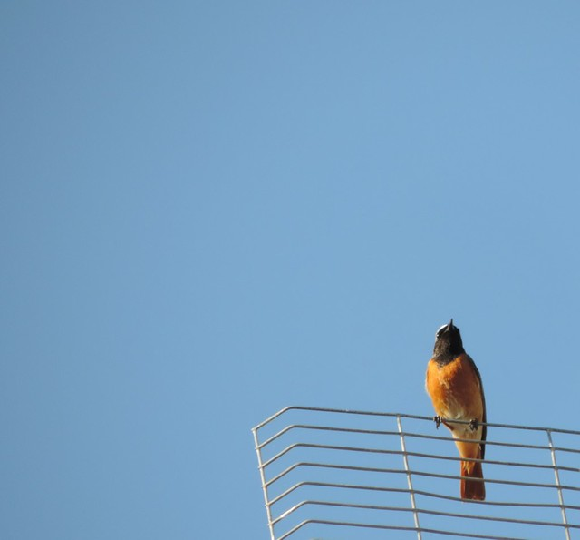 redstart on the antenna
