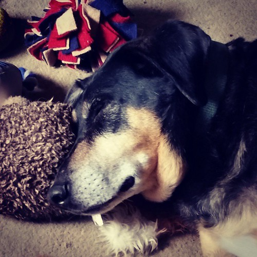 Lazy Sunday mornings are the best! #coonhoundmix #rescueddogsofinstagram #dogstagram #instadog #muttsofinstagram #seniordog #ilovemyseniordog #ilovebigmutts #houndmix #adoptdontshop