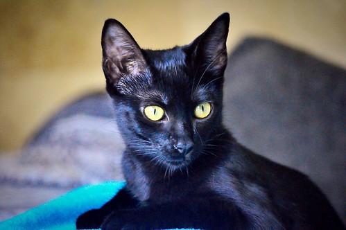 Selva, gatita Pantera guapa, estilizada y divertida esterilizada, nacida en Mayo´16, en adopción. Valencia. ADOPTADA. 29987840216_47d5d0d5e2