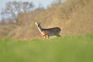 Chinese Water Deer | by markhows