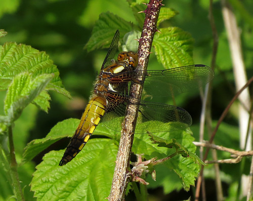 Broad-bodied Chaser Libellula depressa Tophill Low NR, East Yorkshire May 2015