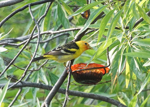 Western Tanager at the jelly feeder.